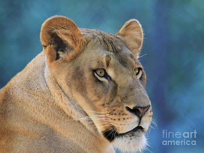 Photograph - Lioness by Roger Becker