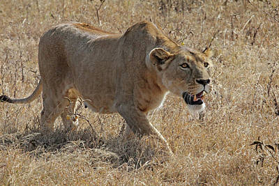 Photograph - Lioness Stalking by Gill Billington