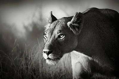 Portrait Photograph - Lioness Stalking by Johan Swanepoel