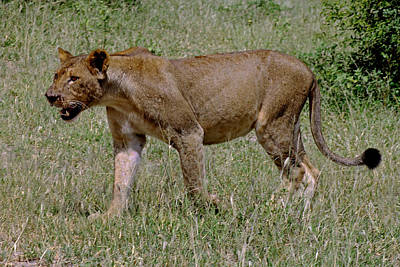 Photograph - Lioness by Tony Murtagh