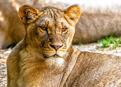 Photograph - Lioness by Wayne King