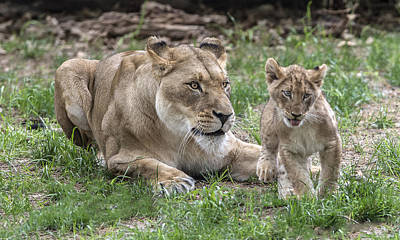 Photograph - Lioness With Her Cub by William Bitman