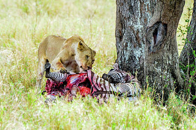 Photograph - Lioness With Zebra Kill by Marilyn Burton