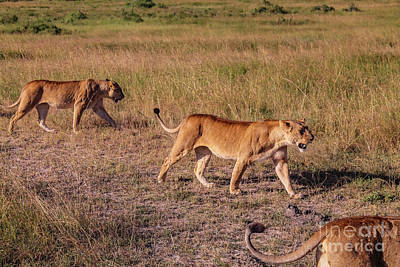 Photograph - Lionesses On A Hunting Lesson by Cami Photo