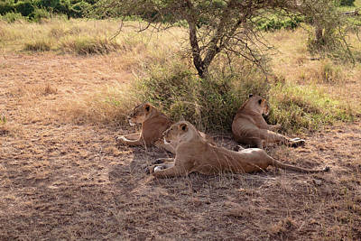 Photograph - Lionesses Three by Mary Lee Dereske