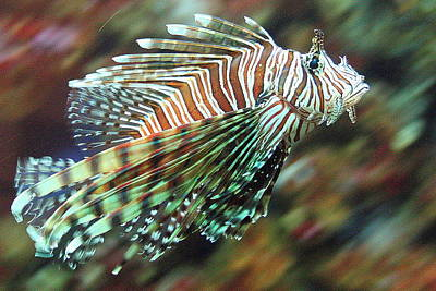 Photograph - Lionfish At California's Birch Aquarium by Laurel Talabere