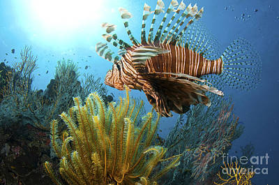 Blend Photograph - Lionfish In Beqa Lagoon II by Steve Rosenberg - Printscapes