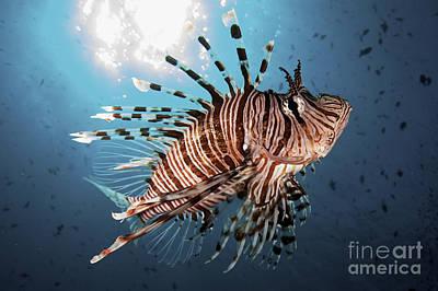 Blend Photograph - Lionfish In Blue Ocean I by Steve Rosenberg - Printscapes