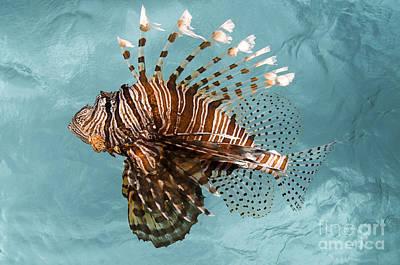 Blend Photograph - Lionfish In Blue Ocean II by Steve Rosenberg - Printscapes