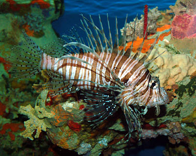 Art Print featuring the photograph Lionfish by Kathleen Stephens
