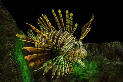 Photograph - Lionfish by Richard Goldman