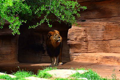 Photograph - Lions And Tigers And...no Just A Lion by Lisa Wooten