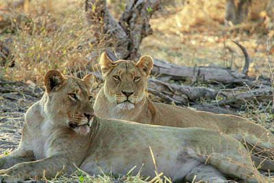 Photograph - Lions At Sunset by Mark Coran