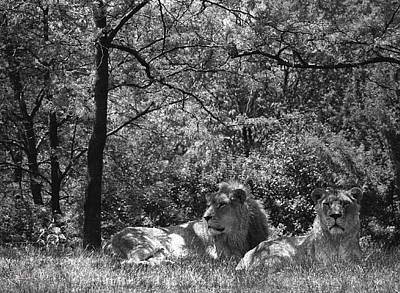 Photograph - Lions At Toronto Metro Zoo by Jim Vance