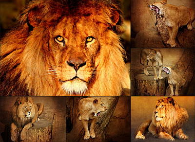 Lion Photograph - Lions Collage by Heike Hultsch
