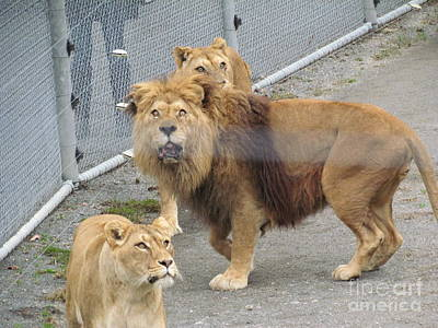 Photograph - Lions by Joyce Woodhouse