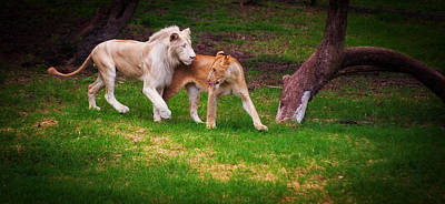 Photograph - Lions Love by Jenny Rainbow