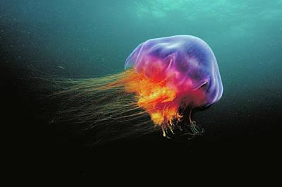 Cyanea Capillata Photograph - Lions Mane Cyanea Capillata Jellyfish by Scott Leslie