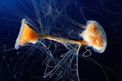 Cyanea Capillata Photograph - Lions Mane Jellyfish Cyanea Capillata by George Grall