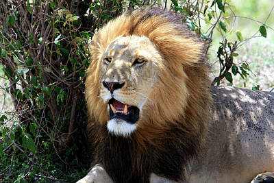 Photograph - Lions Of The Masai Mara, Kenya by Aidan Moran