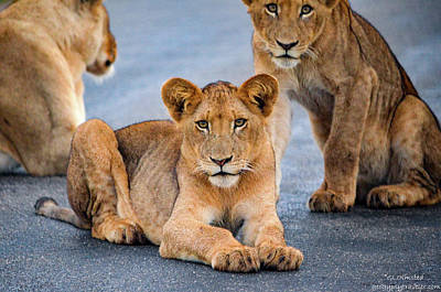 Art Print featuring the photograph Lions Stare by Gaelyn Olmsted