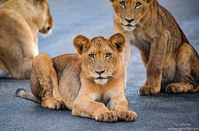Lions Stare Art Print