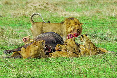 Photograph - Lions With Cape Buffalo Kill by Marilyn Burton