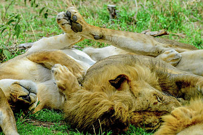 Photograph - Lions With Touching Paws by Marilyn Burton
