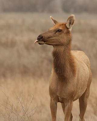 Tule Elk Photograph - Lip Licking Tule Elk Merced County Ca by Troy Montemayor