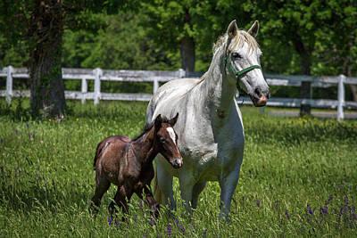 Photograph - Lipizzan Horses by Stuart Litoff