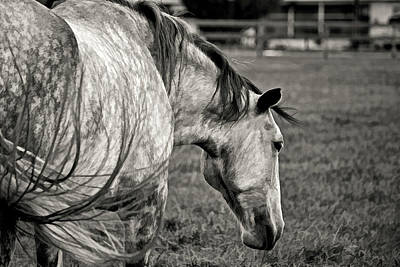 Photograph - Lipizzan Stallion By H H Photography Of Florida by HH Photography of Florida