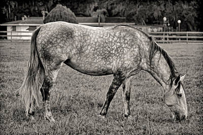 Photograph - Lipizzan Stallion by HH Photography of Florida
