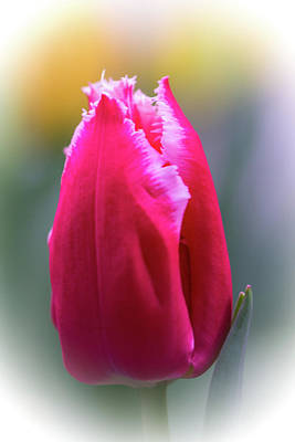 Photograph - Lipstick Pink Tulip With Fringe by Mother Nature