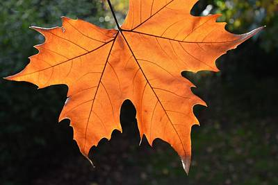 Photograph - Liquid Amber Leaf by Jocelyn Friis
