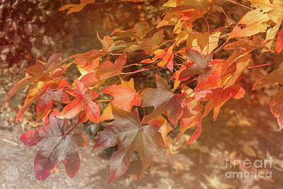 Liquidambar Art Print by Elaine Teague