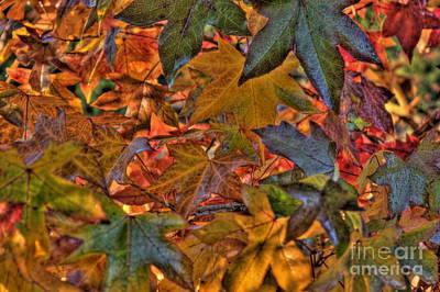 Photograph - Liquidamber by Elaine Teague