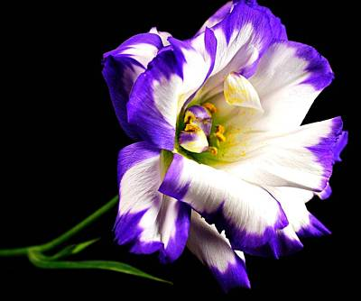 Photograph - Lisianthus by Diana Angstadt