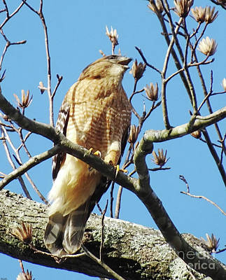 Photograph - Listen Up Ya'll Red Shouldered Hawk by Lizi Beard-Ward