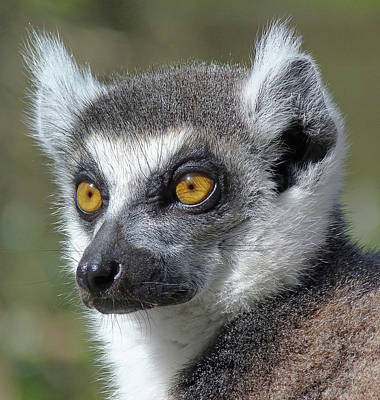 Photograph - Listening Lemur by Margaret Saheed