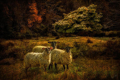 Linda King Photograph - Listening Sheep 1282 by Linda King