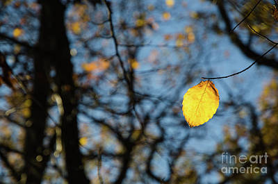 Photograph - Lit Lone Leaf by Kennerth and Birgitta Kullman