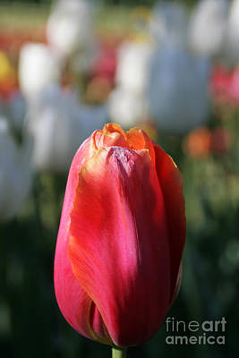 Photograph - Lit Tulip 03 by Andrea Jean