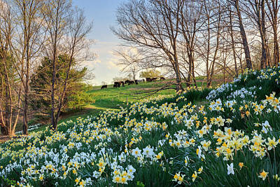 Litchfield Connecticut Daffodil Cows Print by Bill Wakeley