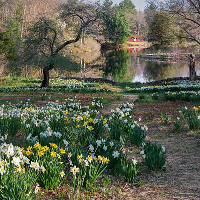 Photograph - Litchfield Daffodills Cabin Square by Bill Wakeley