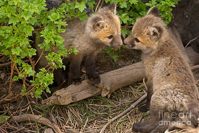 Fox Photograph - Litter Mates  by Natural Focal Point Photography