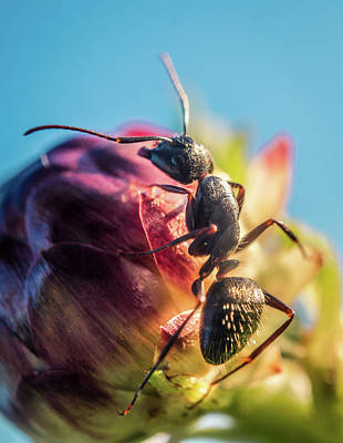 Photograph - Little Ant On The Flower by Lilia D