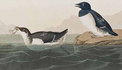 Edge Painting - Little Auk by John James Audubon