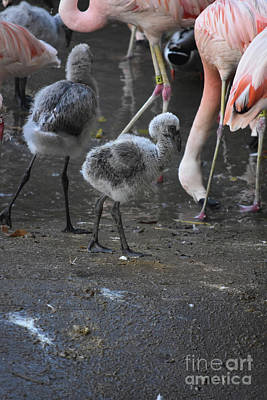Photograph - Little Baby Flamingos Walking Over To Adults  by DejaVu Designs