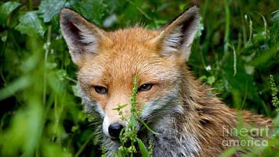 Photograph - Little Baby Fox by Eva-Maria Di Bella