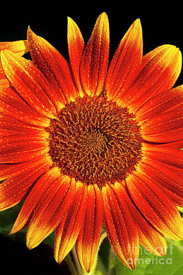 Photograph - Little Becka Sunflower by Alan L Graham